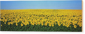 Sunflowers Wood Prints