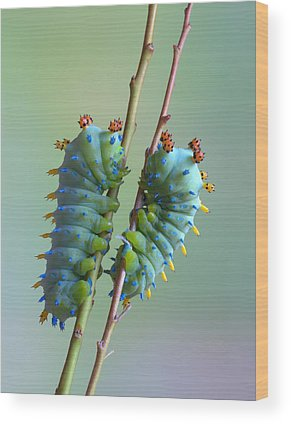 Caterpillars Wood Prints