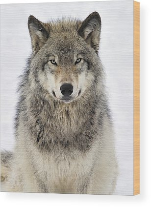 Timber Wolves Photographs Wood Prints