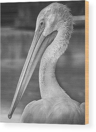 American White Pelican Wood Prints