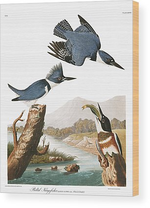 Belted Kingfisher Wood Prints