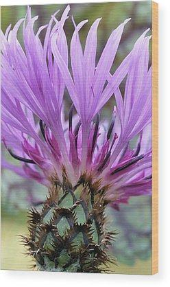 Centaurea Montana Wood Prints