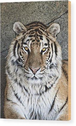 Siberian Tiger Wood Prints