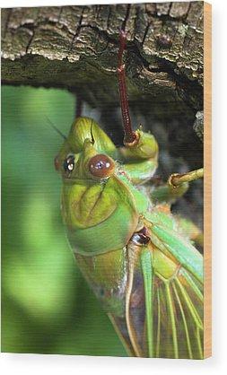 Cicada Wood Prints