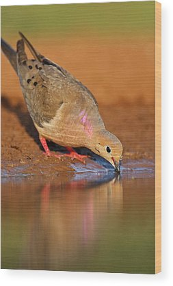 Mourning Dove Wood Prints