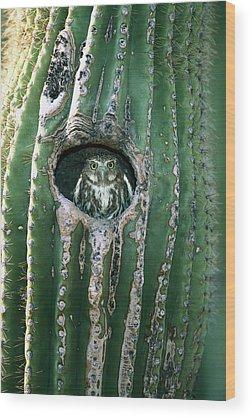 Pygmy Owl Wood Prints