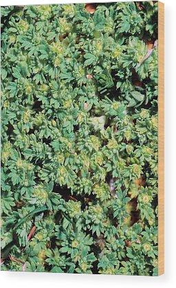Rosaceae Wood Prints