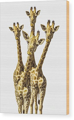 Zoo Animals Photographs Wood Prints