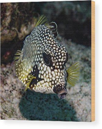 Trunkfish Wood Prints