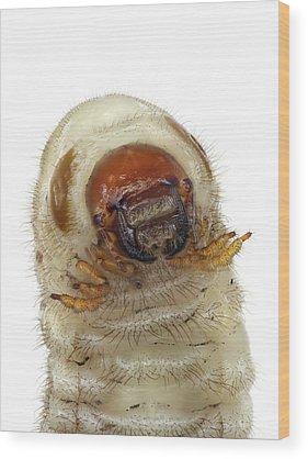 Larvae Wood Prints