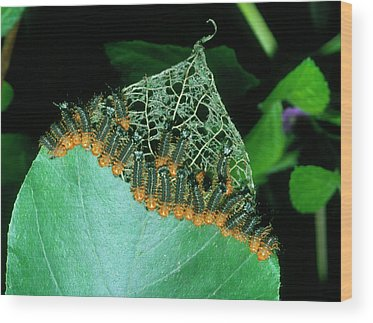Larva Wood Prints
