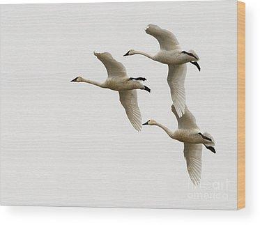 Tundra Swan Wood Prints