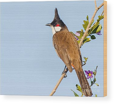 Red Whiskered Bulbul Wood Prints