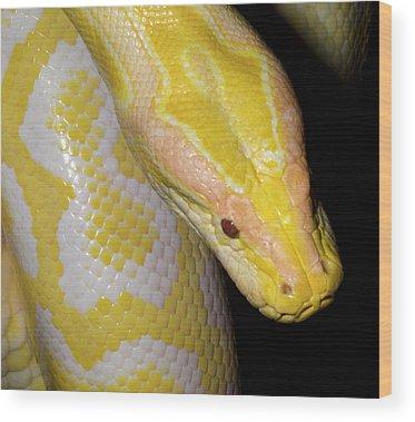 Burmese Python Wood Prints