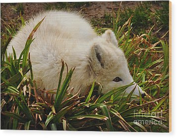 Wood Print featuring the photograph  A White Fox by Mindy Bench