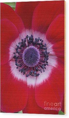Anemone Coronaria Harmony Scarlet Flower Wood Print by Tim Gainey