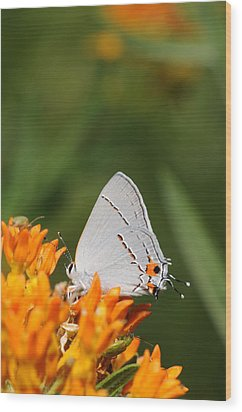 Gray Hairstreak On Butterfly Weed Wood Print by Dick Todd