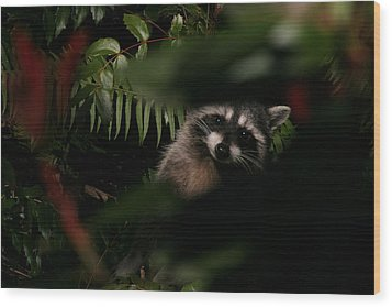 I Can See You  Mr. Raccoon Wood Print by Kym Backland