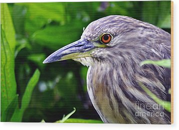 Juvenile Black Crowned Night Heron Wood Print by MaryJane Armstrong