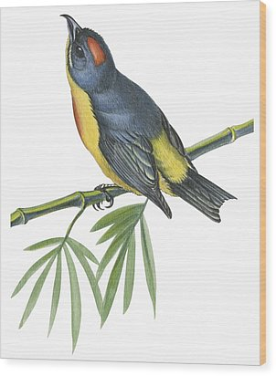 Philippine Flowerpecker Wood Print by Anonymous