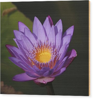 Purple Water Lily Wood Print