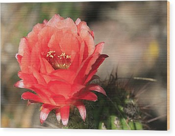 Red  Cacti Flower Wood Print