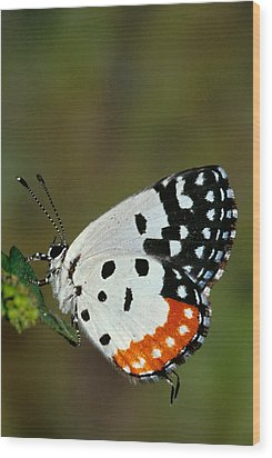 Red Pierrot Butterfly Wood Print by Anonymous
