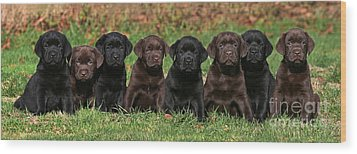 8 Labrador Retriever Puppies Brown And Black Side By Side Wood Print by Dog Photos