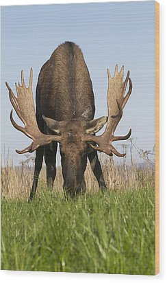 A Large Bull Moose Feeds Near Point Wood Print by Doug Lindstrand