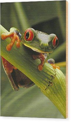 A Red-eyed Tree Frog Agalychnis Wood Print by Steve Winter