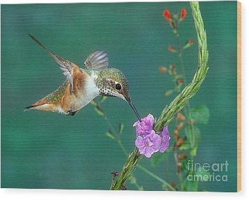 Allens Hummingbird Wood Print by Anthony Mercieca