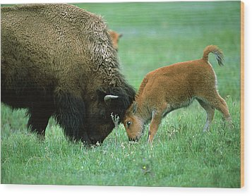 American Bison Cow And Calf Wood Print by Suzi Eszterhas
