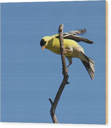 American Goldfinch Wood Print by Bob and Jan Shriner