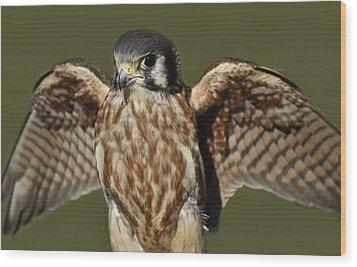 American Kestrel Wood Print by Paulette Thomas