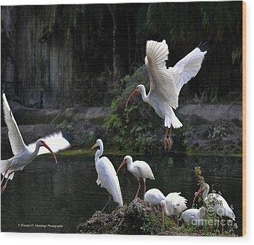 American White Ibis Wood Print