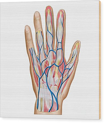 Anatomy Of Back Of Human Hand Wood Print by Stocktrek Images