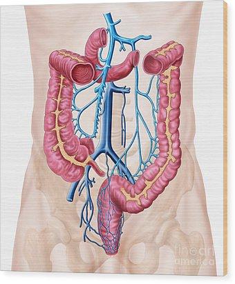 Anatomy Of Human Abdominal Vein System Wood Print by Stocktrek Images