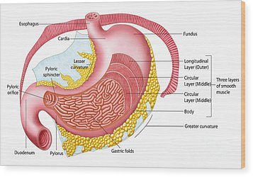 Anatomy Of The Human Stomach Wood Print by Stocktrek Images