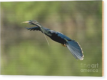 Anhinga Wood Print by Anthony Mercieca