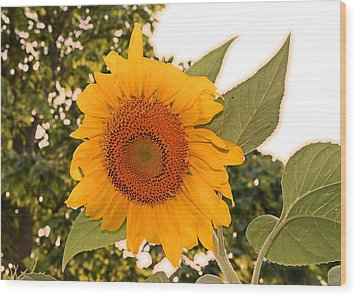 Another Sunflower Wood Print by Victoria Sheldon