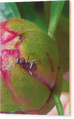 Ant On Peony Bud Wood Print by Barb Baker