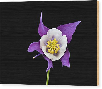Aquilegia - Purple Wood Print by Paul Gulliver