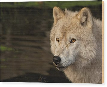 Arctic Wolf Wood Print by Josef Pittner