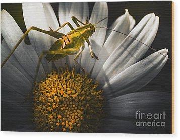 Australian Grasshopper On Flowers. Spring Concept Wood Print