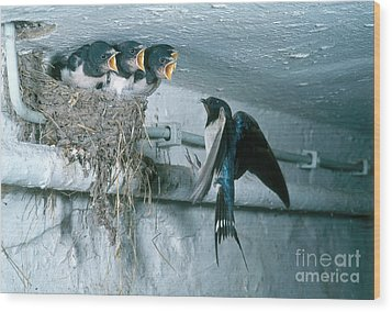 Barn Swallows Wood Print by Hans Reinhard