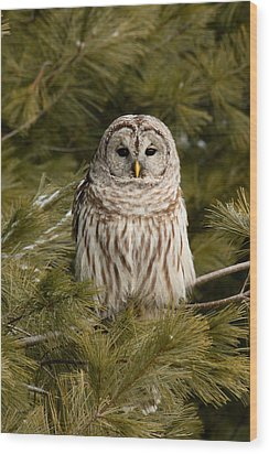Barred Owl In A Pine Tree. Wood Print by Michel Soucy