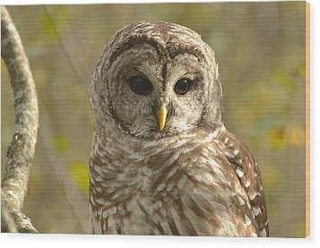 Barred Owl Wood Print by Nancy Landry