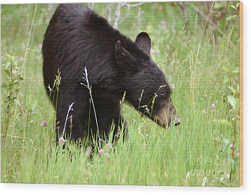 556p Black Bear Wood Print by NightVisions