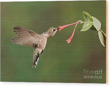 Black-chinned Hummingbird Wood Print by Scott Linstead