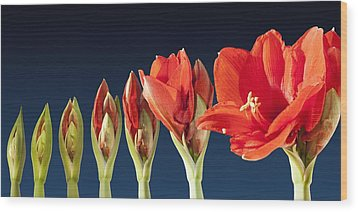 Blossoming Amaryllis Flower Wood Print